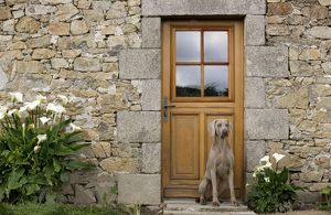 LA-6604 Dog - Weimaraner sitting outside house