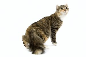 LA-6645 Cat - American Curl - Brown tortie blotched tabby & white