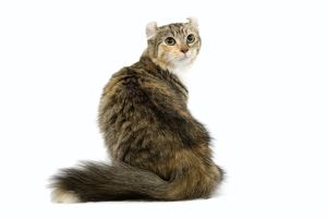 LA-6646 Cat - American Curl - Brown tortie blotched tabby & white