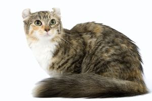 LA-6647 Cat - American Curl - Brown tortie blotched tabby & white