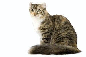 LA-6648 Cat - American Curl - Brown tortie blotched tabby & white