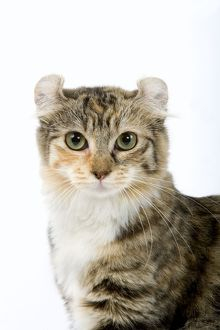 LA-6649 Cat - American Curl - Brown tortie blotched tabby & white