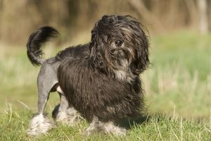 LA-6684 Dogl - Lowchen / Little Lion Dog