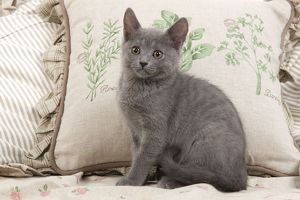 LA-6693 Cat - Chartreux sitting by cushions