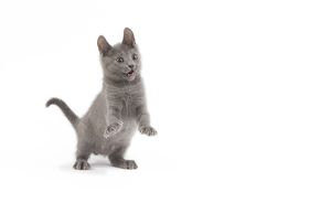 LA-6697 Cat - Chartreux kitten in studio