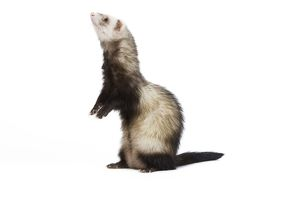 LA-6708 Ferret - in studio