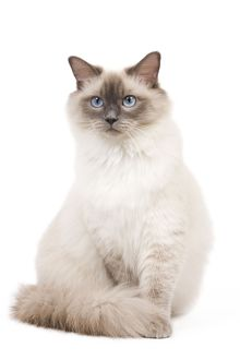 LA-6734 Cat - Ragdoll - Blue colourpoint in studio