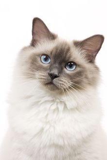 LA-6735 Cat - Ragdoll - Blue colourpoint in studio