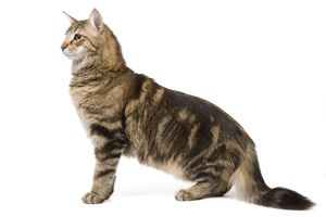 LA-6753 Cat - Norwegian Forest tabby