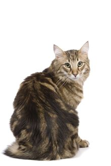 LA-6754 Cat - Norwegian Forest tabby