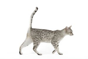 LA-6877 Cat - Egyptian Mau - black silver spotted in studio