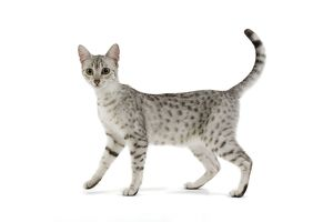 LA-6878 Cat - Egyptian Mau - black silver spotted in studio