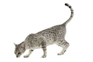 LA-6879 Cat - Egyptian Mau - black silver spotted in studio