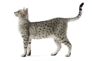 LA-6880 Cat - Egyptian Mau - black silver spotted in studio