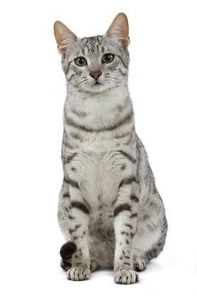 LA-6882 Cat - Egyptian Mau - black silver spotted in studio