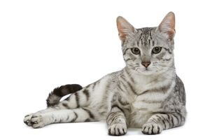 LA-6883 Cat - Egyptian Mau - black silver spotted in studio