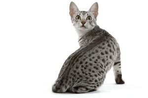 LA-6884 Cat - Egyptian Mau - black silver spotted in studio
