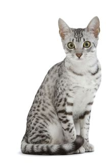 LA-6885 Cat - Egyptian Mau - black silver spotted in studio