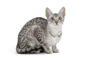 LA-6886 Cat - Egyptian Mau - black silver spotted in studio