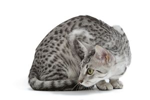 LA-6887 Cat - Egyptian Mau - black silver spotted in studio