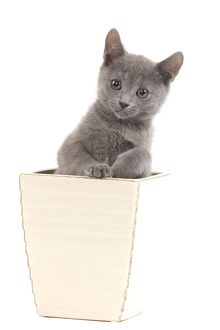LA-6918 Cat - Chartreux kitten in flowerpot