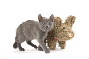 LA-6919 Cat - Chartreux kitten in studio with straw pig