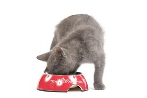 LA-6920 Cat - Chartreux kitten in studio eating from bowl