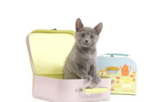 LA-6921 Cat - Chartreux kitten in toy suitcase