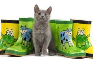 LA-6922 Cat - Chartreux kitten in studio with brightly coloured wellington boots