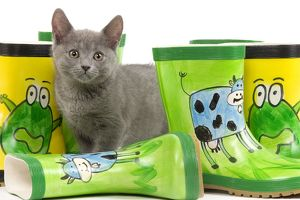 LA-6923 Cat - Chartreux kitten in studio with brightly coloured wellington boots