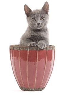 LA-6924 Cat - Chartreux kitten in flowerpot