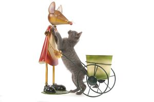 LA-6927 Cat - Chartreux kitten in studio playing with mouse garden ornament