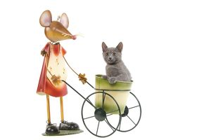 LA-6928 Cat - Chartreux kitten in studio playing with mouse garden ornament - sitting