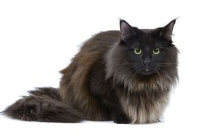 LA-6930 Black Norwegian Forest Cat - in studio