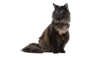 LA-6931 Black Norwegian Forest Cat - in studio