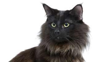 LA-6933 Black Norwegian Forest Cat - in studio