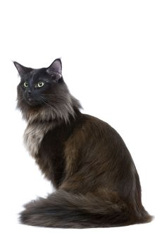 LA-6934 Black Norwegian Forest Cat - in studio