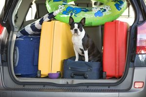 LA-6935 Dog - Boston Terrier in boot of car - going on holiday with family's luggage