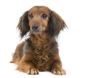 LA-7037 Long-Haired Dachshund / Teckel Dog - 15 year old in studio