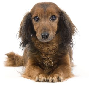 LA-7038 Long-Haired Dachshund / Teckel Dog - 15 year old in studio