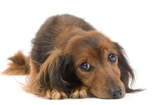 LA-7039 Long-Haired Dachshund / Teckel Dog - 15 year old in studio