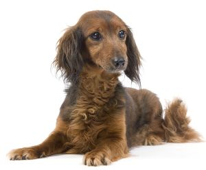 LA-7040 Long-Haired Dachshund / Teckel Dog - 15 year old in studio