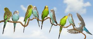 LA-7106 Budgerigars - group perched on twig