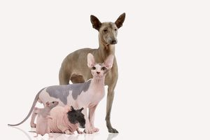 LA-7107 Hairless Animals - Mexican Hairless Dog, Sphinx Cat, guinea pig & rat