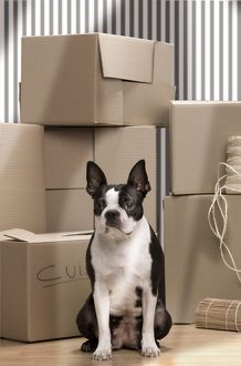 LA-7121 Dog - Boston Terrier surrounded by packing boxes
