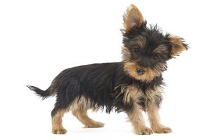 LA-7124 Dog - Australian Silky Terrier - puppy in studio.