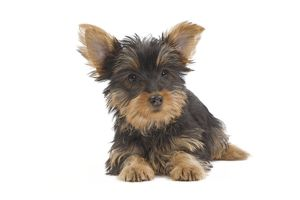 puppies/la 7125 dog australian silky terrier puppy