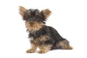 LA-7126 Dog - Australian Silky Terrier - puppy in studio