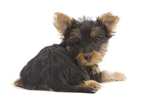 LA-7128 Dog - Australian Silky Terrier - puppy in studio