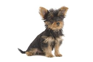 LA-7129 Dog - Australian Silky Terrier - puppy in studio.